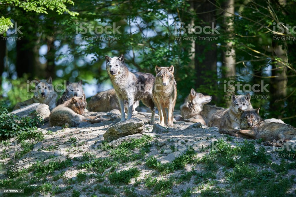 Wolfsrudel in der Sonne stock photo