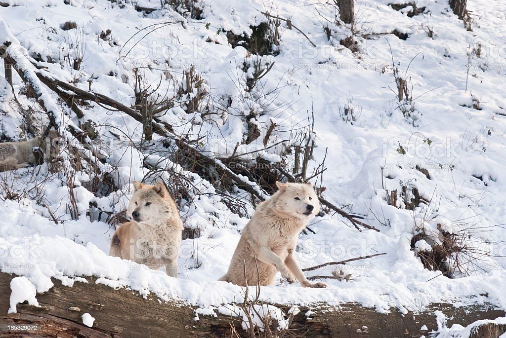 Two arctic wolves are standing on a dead tree, watching the prey.