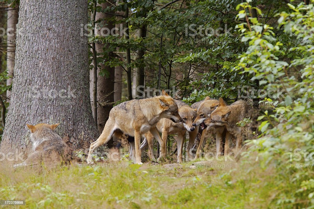 Wolf pack royalty-free stock photo