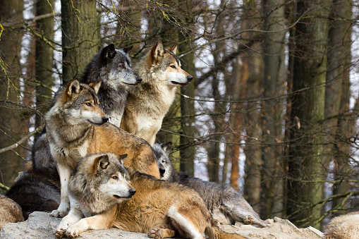 A picture from a pack of wolf sitting on a rock.