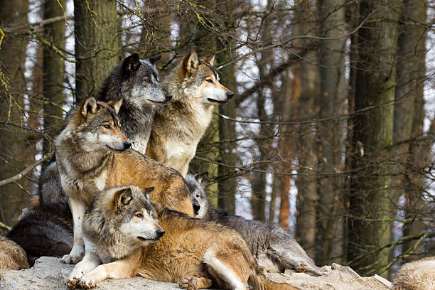 Wolf pack stock photo