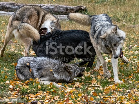 Captive Tundra Wolf Pack doing rough play. A game farm in Montana, with animals in natural settings.