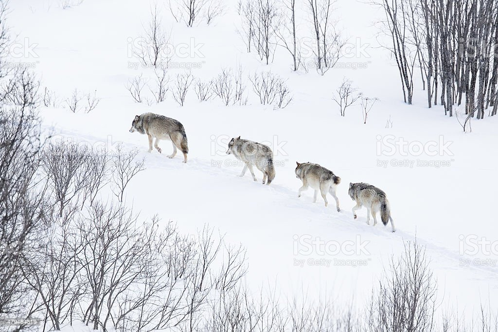 Wolf pack running in the cold landscape stock photo