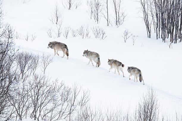 Wolf pack Laufen in der Kälte Landschaft – Foto
