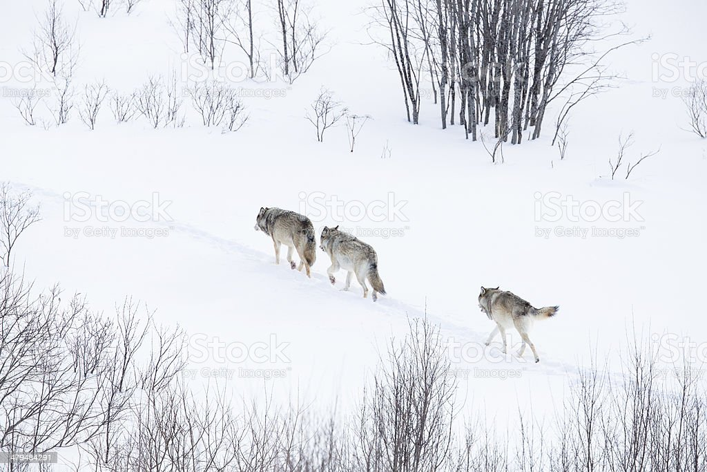 Wolf pack walking in winter landscape stock photo