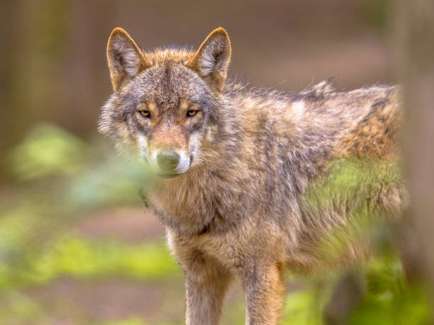 Wolf peeking through leaves in a forest European grey Wolf (Canis lupus) peeking throug leaves vegetation in natural forest habitat looking looking for prey, eye contact eurasia stock pictures, royalty-free photos & images
