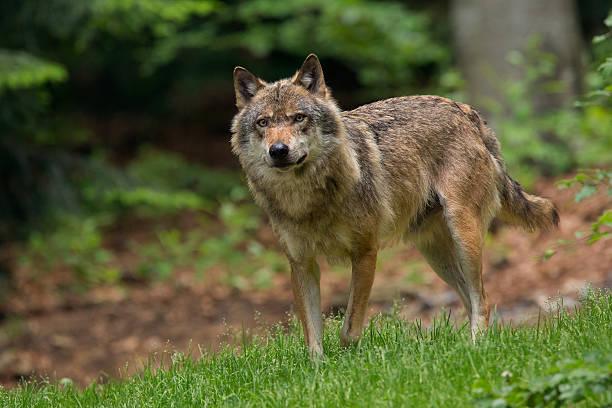 Wolf picture id176712180?b=1&k=6&m=176712180&s=612x612&w=0&h=b4izfx5ageia uvslnb50rntysf7rwgyiplzoyzb1fa=