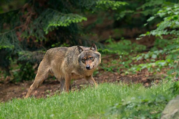 Wolf picture id453528561?b=1&k=6&m=453528561&s=612x612&w=0&h=e e sphpkn2fnaiufl8mcd3ojw7u76e1glg1c ztltc=