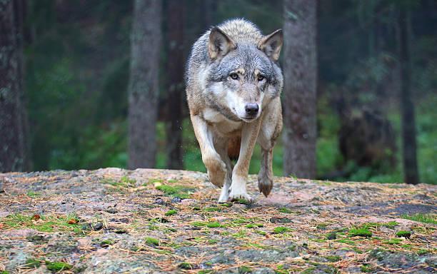 Wolf Bilder Und Stockfotos Istock