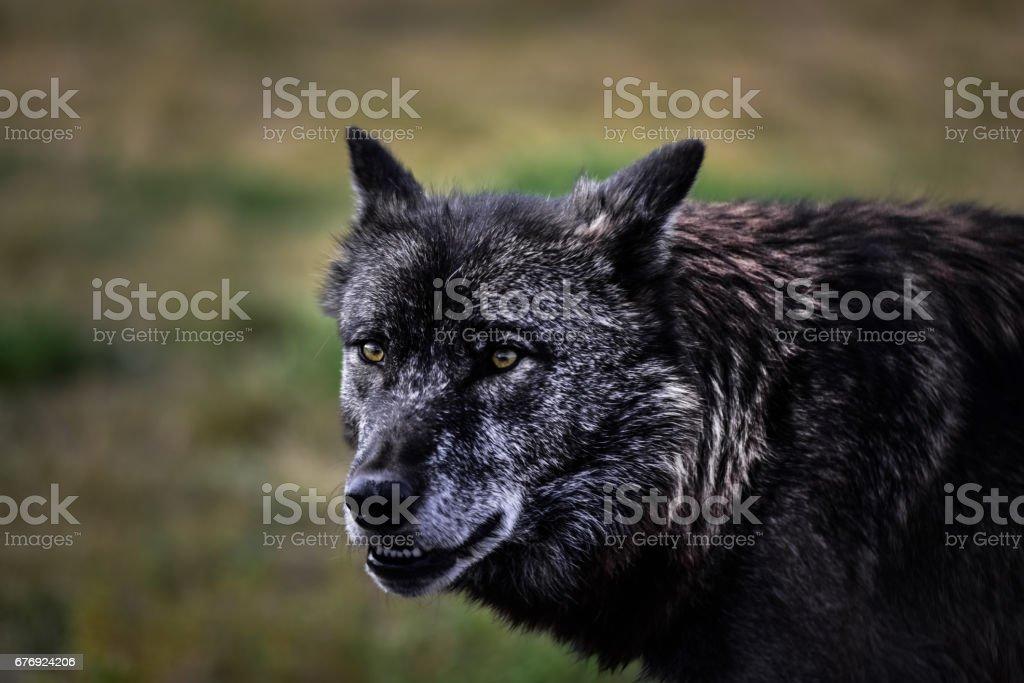 Lobo - foto de acervo