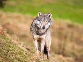 A Gray Wolf. Taken in Scotland, UK