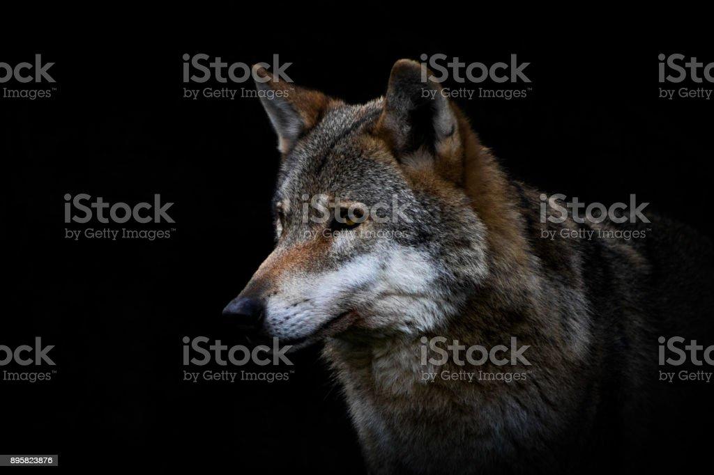 wolf – Foto