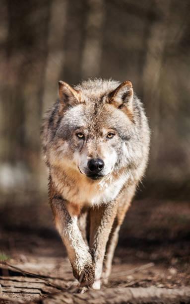 wolf - wolf stock-fotos und bilder