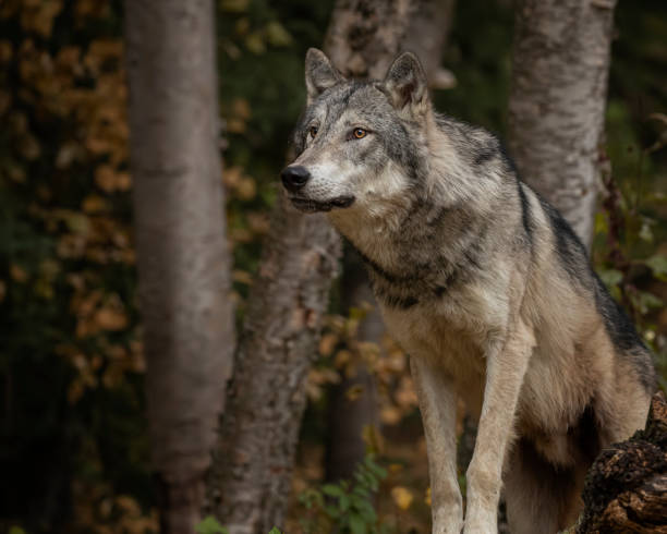 Wolf playing and posing in Autumn colors in Kalispell Montana USA stock photo
