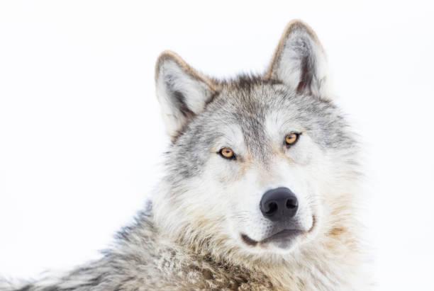 Wolf Portrait in Winter stock photo