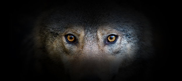 Wolf portrait on a black background. View from the darkness