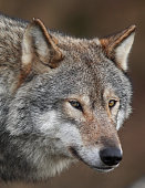 A close-up of a Gray Wolf