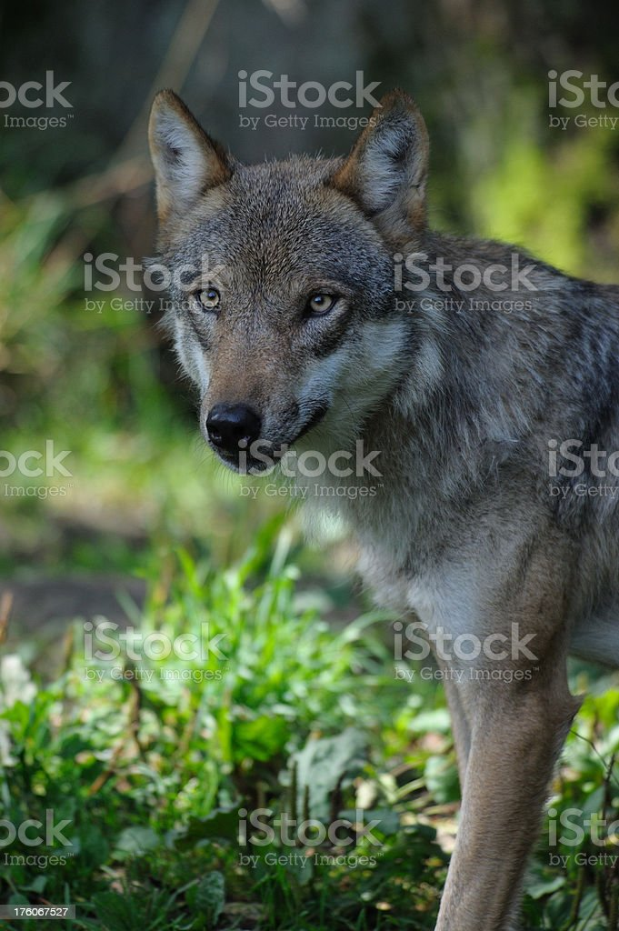 wolf portrait royalty-free stock photo