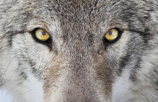 wolf portrait - wolf stock-fotos und bilder