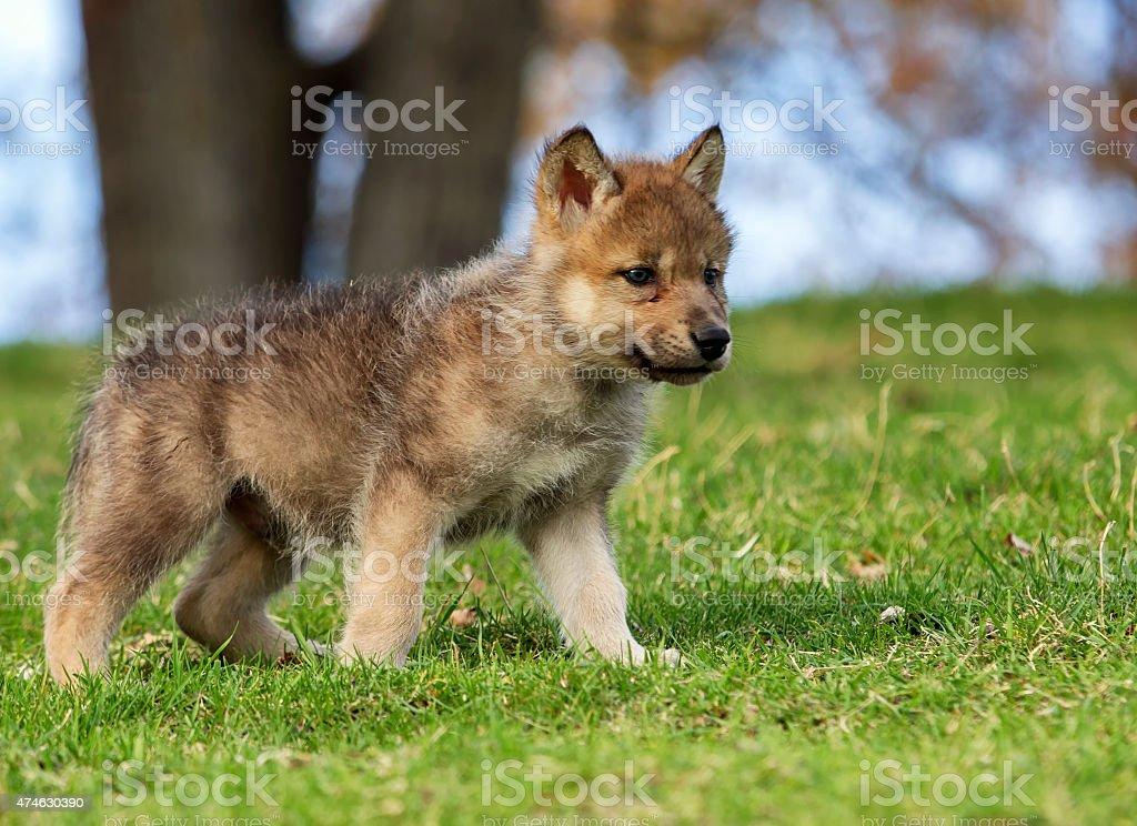 Wolf pup stock photo