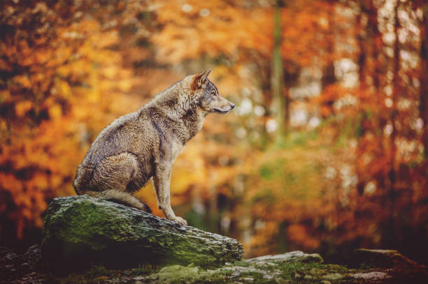 wolf sitting on the stone in autumn forest. - lupo foto e immagini stock