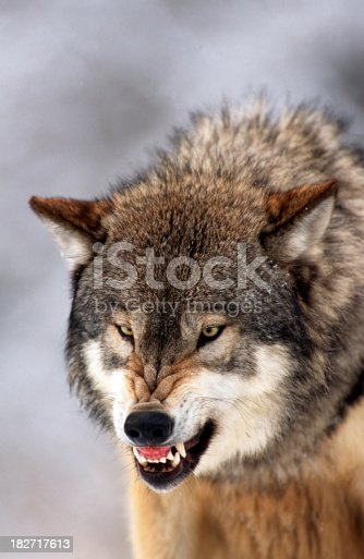 Close-up of gray wolf (timber wolf) snarling. MT.