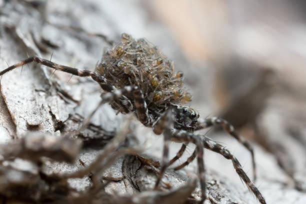 Aranha-lobo, Acantholycosa lignaria com filhotes nas costas - foto de acervo