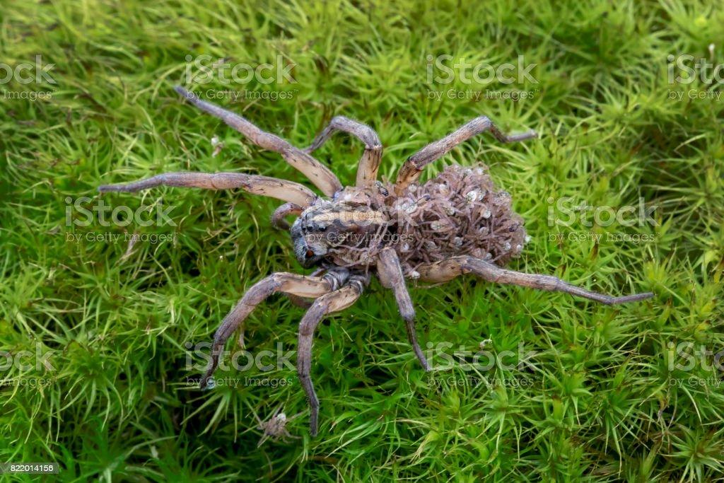 Aranha-lobo carregando bebês nas costas - foto de acervo
