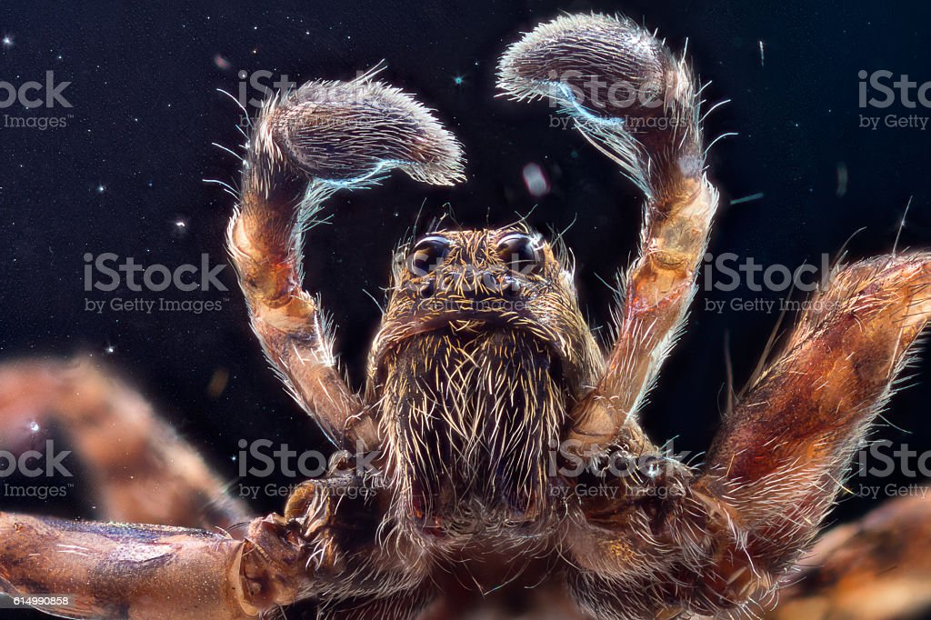 Wolf spider in space stock photo