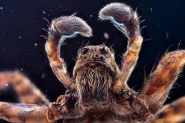 wolf spider in space - araignée photos et images de collection