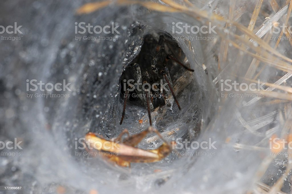 Wolf Spider Lair and Prey royalty-free stock photo