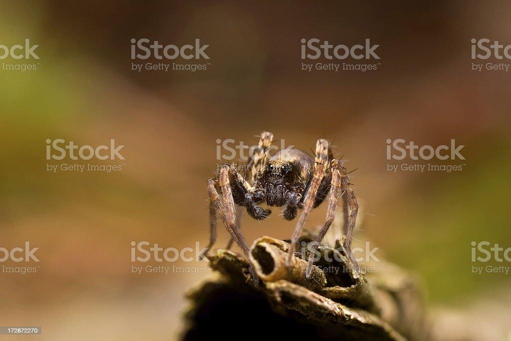Aranha Armadeira - foto de acervo