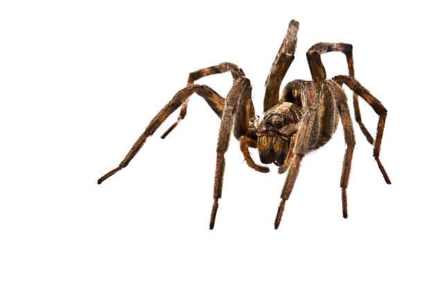 lycose - araignée photos et images de collection