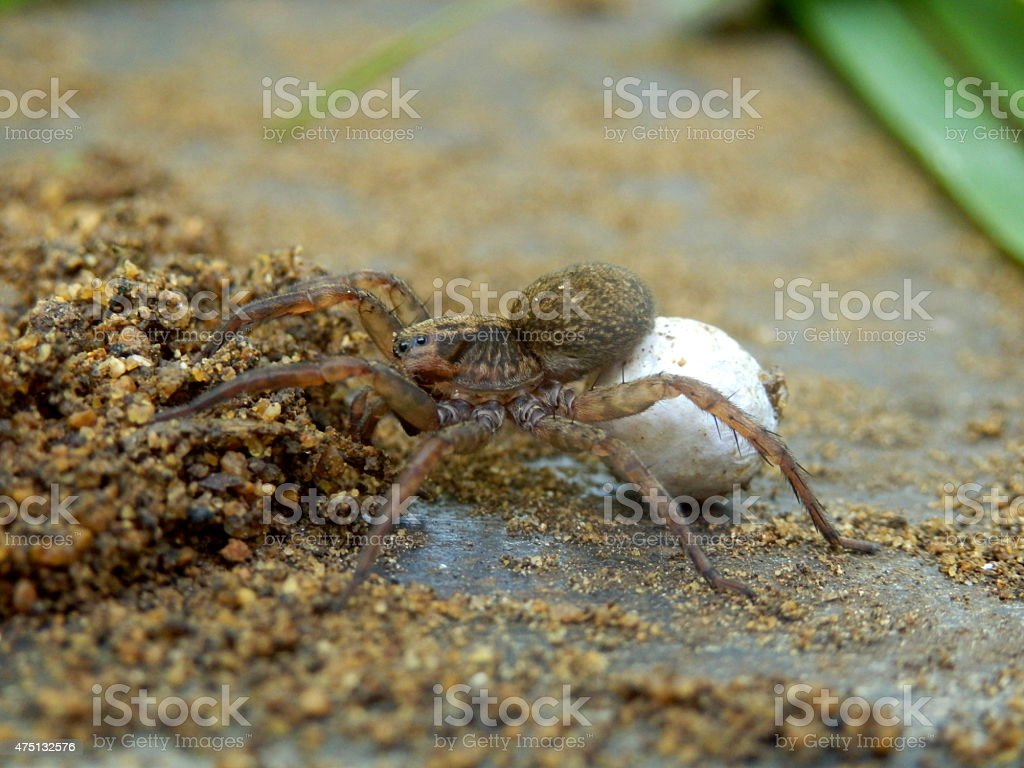 Wolf Spider with egg sac stock photo