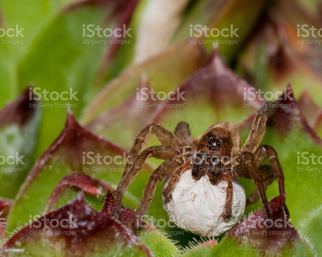 Wolf Spider With Egg Sack - foto de acervo