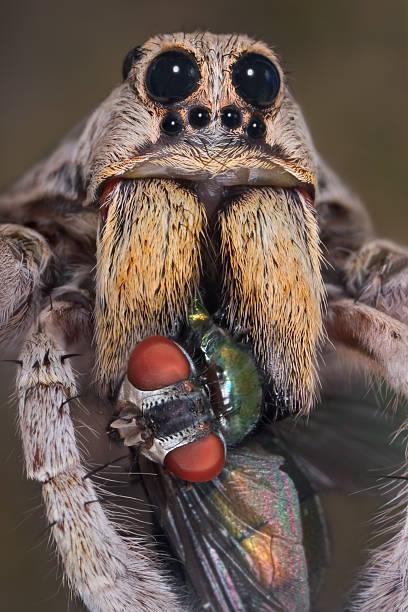 Aranha Armadeira com fangs em voo - foto de acervo