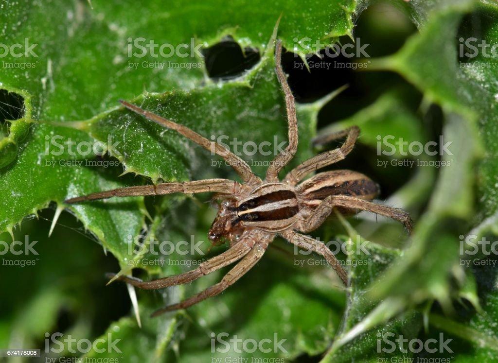 Aranha-lobo com presa - foto de acervo