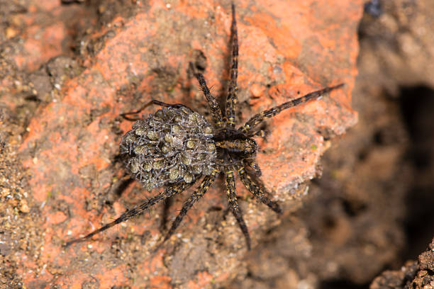 Wolf spider (Pardosa sp.) with spiderlings from above - foto de acervo