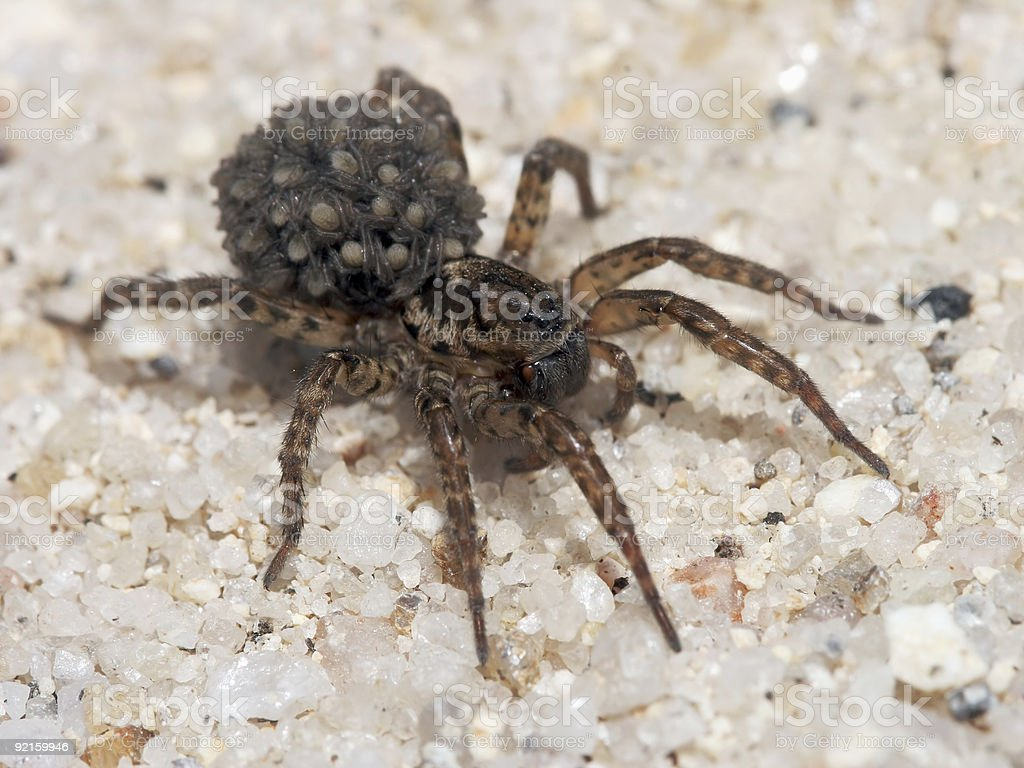 Wolf spider with young 04 stock photo