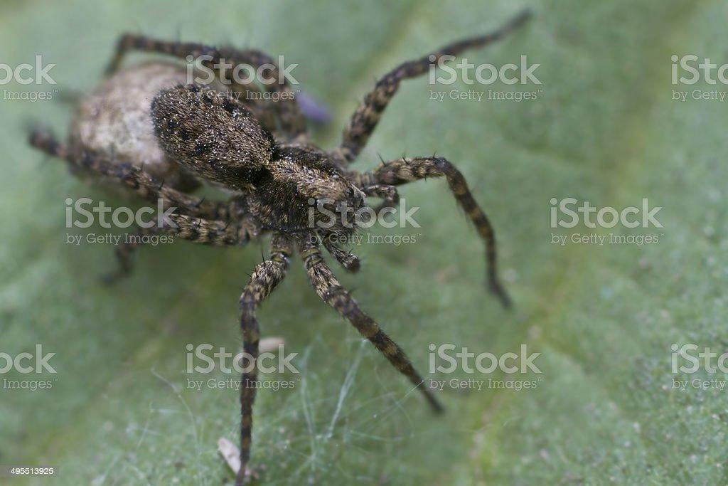 Lobo spiders - foto de acervo