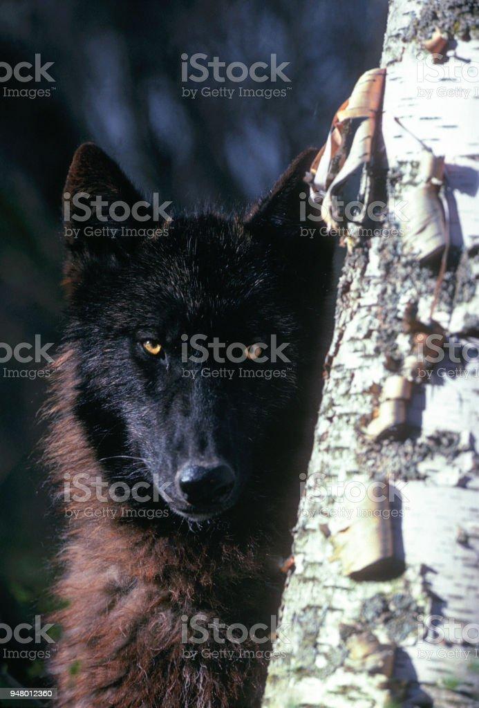 Stae lobo - foto de acervo