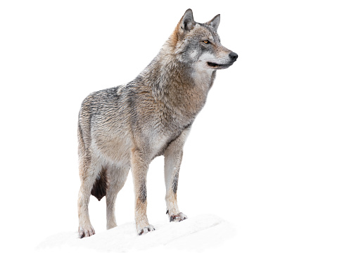 wolf standing in the snow isolated on a white background