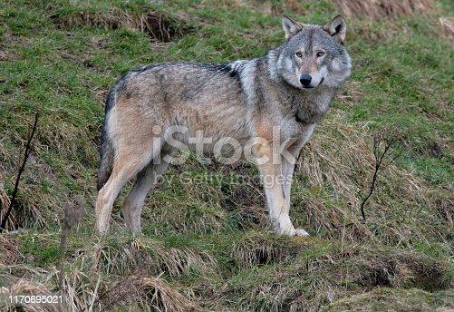 A Gray Wolf standing on a hillside