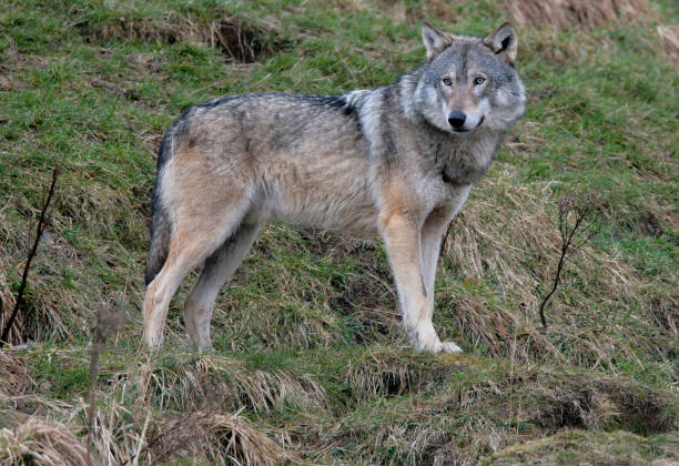 Wolf standing on a Hill stock photo