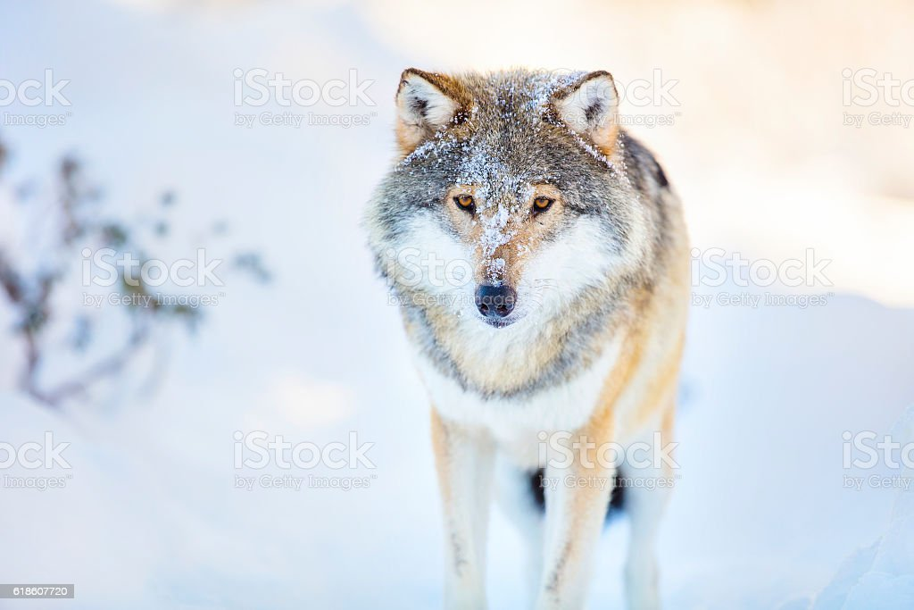Wolf stands in beautiful and cold winter forest stock photo