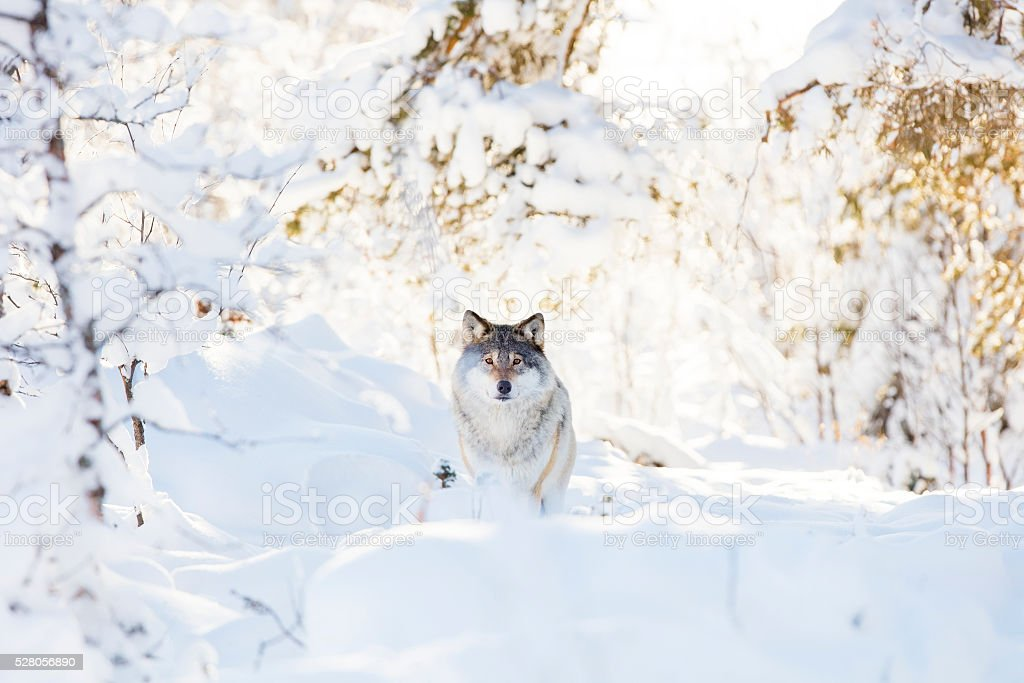 Wolf stands in beautiful winter forest stock photo