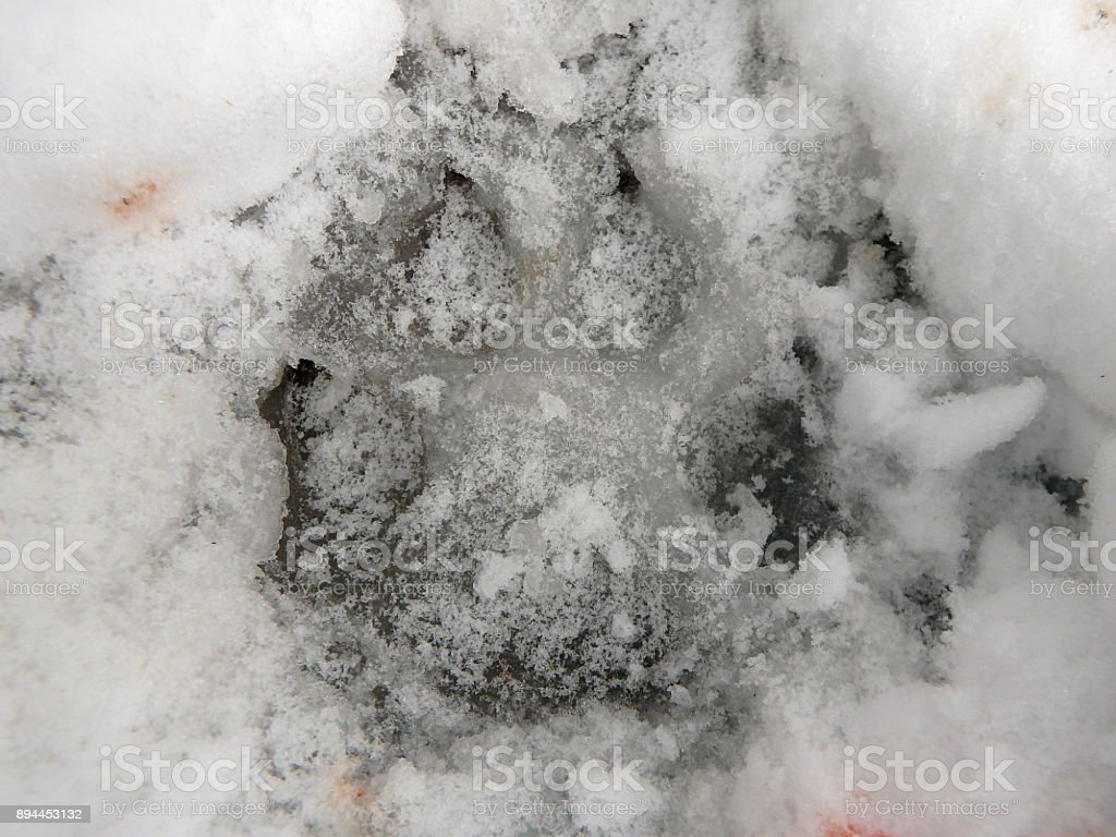 Wolf track in the snow, stock photo