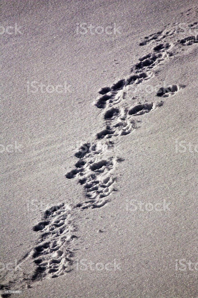 Wolf tracks in snow stock photo