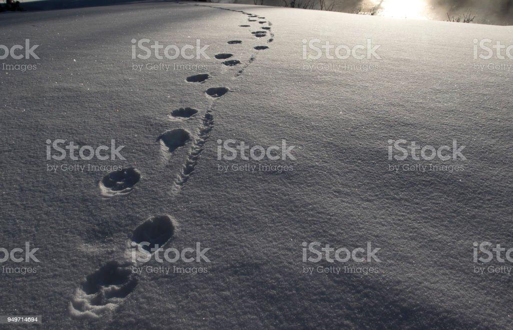 Wolf-Spuren im Schnee – Foto