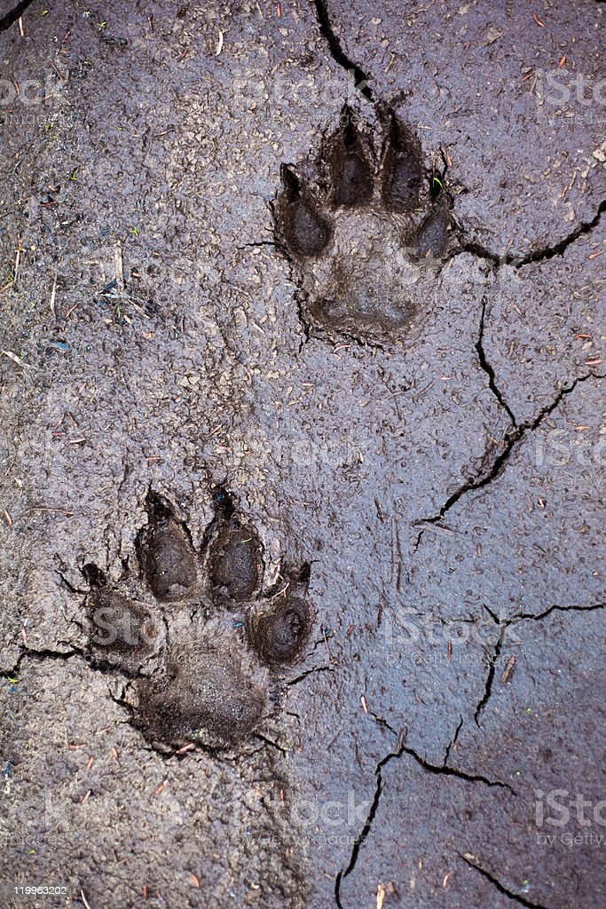 Wolf tracks royalty-free stock photo